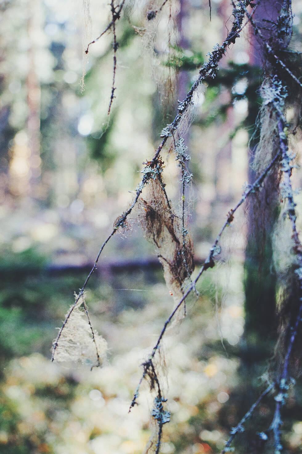 Skogspromenad, svampjakt - trattkantareller