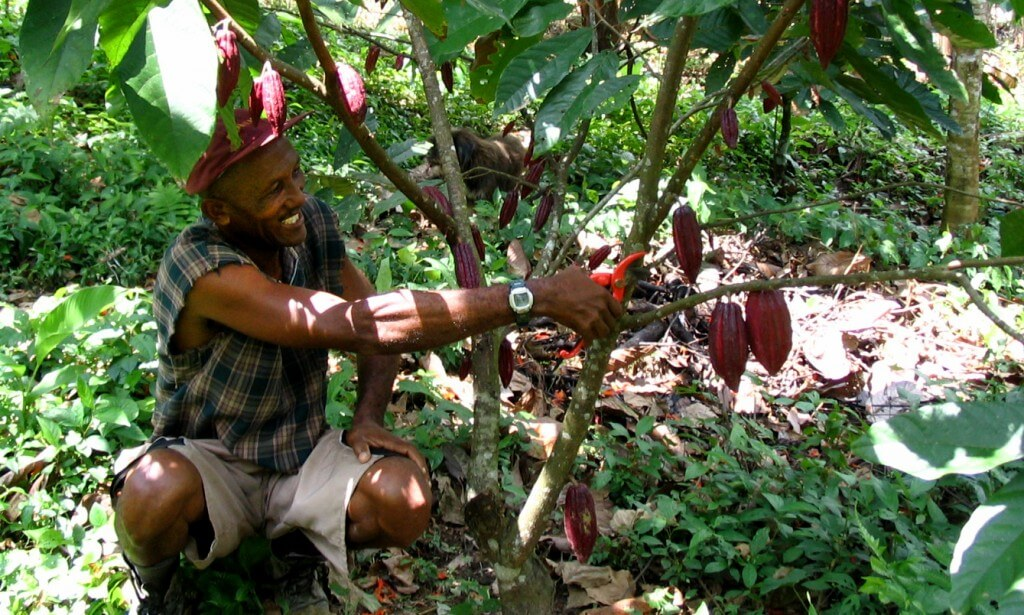 kakaoträd rå choklad kakaobönor