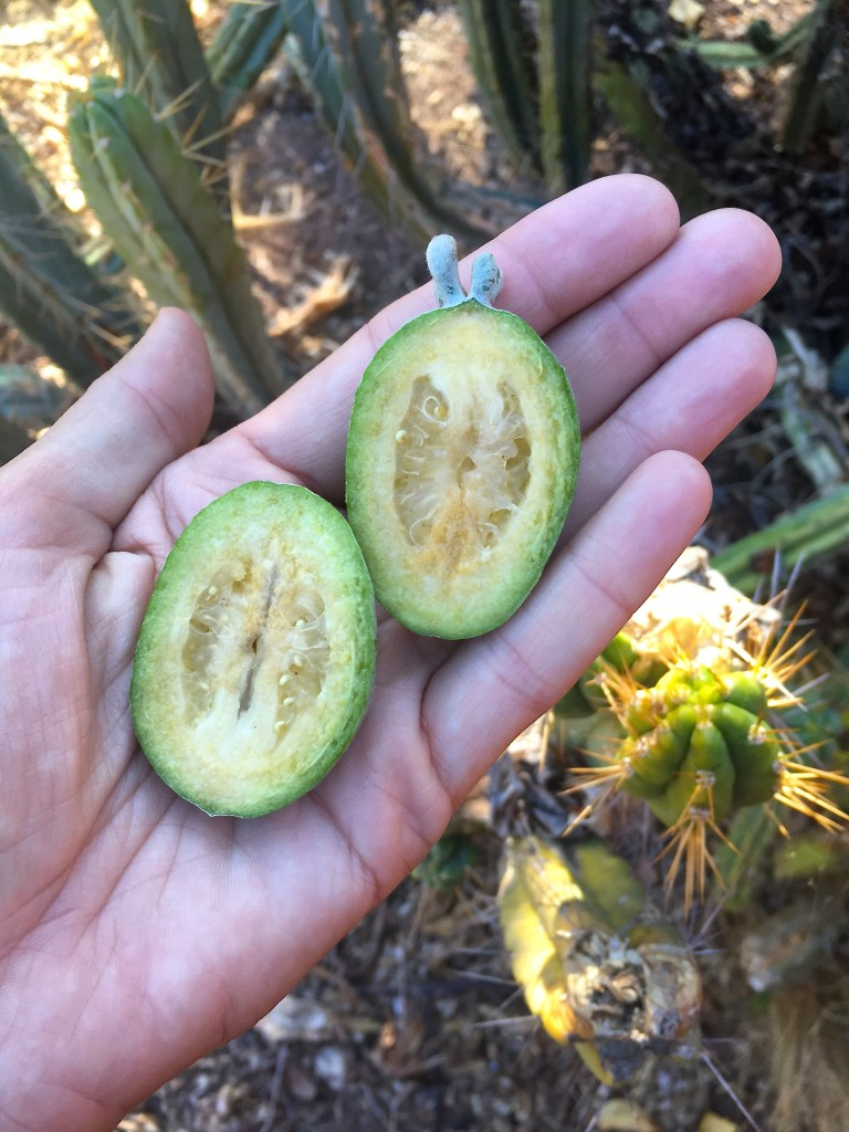 Pineapple Guava Marita Karlson 1