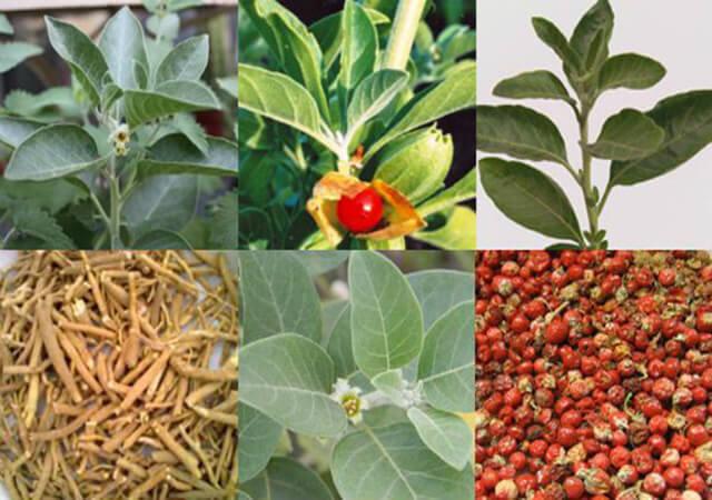 The-Amazing-Ayurvedic-Medicinal-Plant-Ashwagandha_3